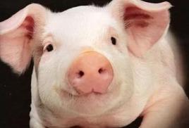 Внимание: африканская чума свиней